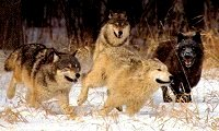 Wolf Behavior, Lupine Behavior Running With The Wolves,Wolf